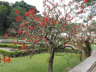 árvore-pequena-do-mulungu-do-litoral
