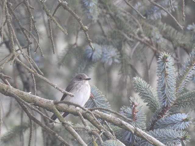 Spotted Flycatcher in the early morning fog