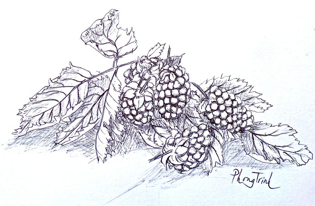 After two days of rain, I went out and checked the black berries. It was hot when the wind stopped. Some berries were forced to be ripen early so they were under sized and the taste was not good. Many fell onto the ground. I managed to collect a few. I missed the drawing exercise. I made a selection and arranged them for a drawing. I noted that even there was no time gap between the time I cut the leaves off the plant and the arrangement on the table. The leaves immediately curved up like they were drying out. This is the effect of the intensity of the heat in the garden. It's the effect of climate change!... The story of climate change seems to be even in these small berries and its leaves! I wonder how the climate effect would be in larger scale of our food production in the near future..  After drawing, it's time to taste. It did not take long. The chemical free berries just turned into liquid when they touched the lips. They are extremely delicate with a little bent in taste at the end... I gave back a third to the birds and the rest for ice cream dessert after dinner..  Garden ripen black berries is my favourite little step in the relationship with nature..