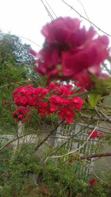 nhân giống hồng leo red fairy tại vườn