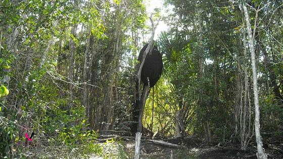 Cuba termites