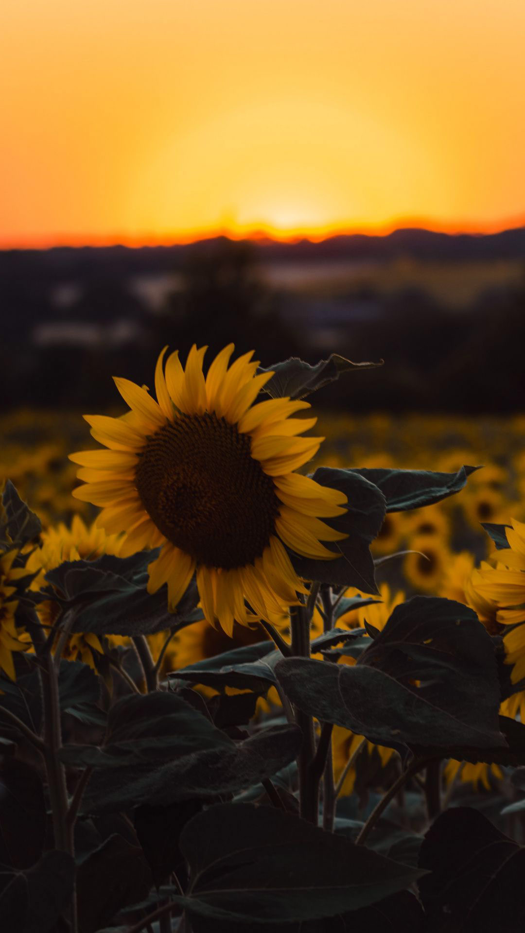 Yellow Sunflower Sunset iPhone Wallpaper