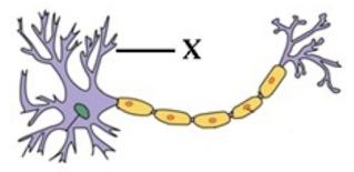 Perhatikan gambar neuron di bawah! Keterangan dan fungsi bagian X yang tepat adalah?