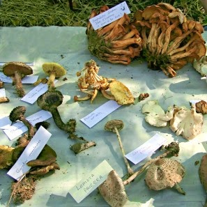 Mycological Display at the Wild Mushroom Festival Mystic CT _ New England Fall Events