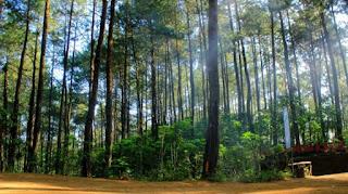 Hutan Pinus Kalilo Kaligesing Purworejo