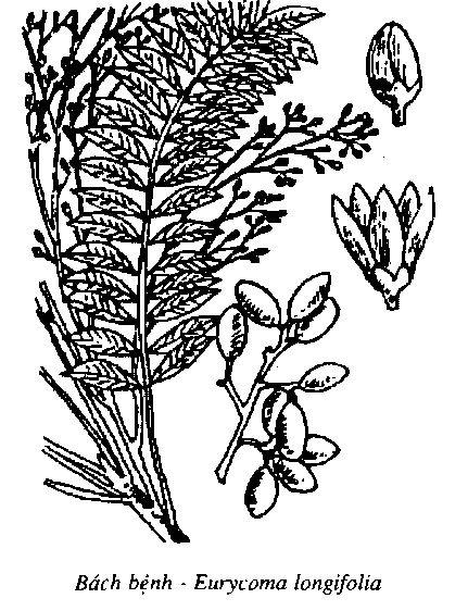 Hình vẽ Bách Bệnh - Eurycoma longifolia - Nguyên liệu làm thuốc Chữa Bệnh Tiêu Hóa