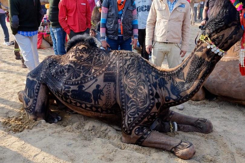 bikaner camel festival, camel festival bikaner, camel festival, camel festival india, camel body art, camel decoration art, camel hair art, art on camel body