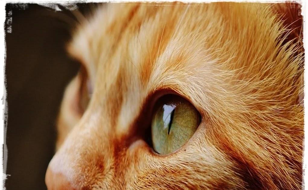 Cara Merawat Kucing Kampung Agar Bulunya Lebat