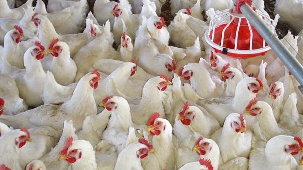 أسعار الفراخ اليوم للمستهلك شهر ديسمبر مصر2021