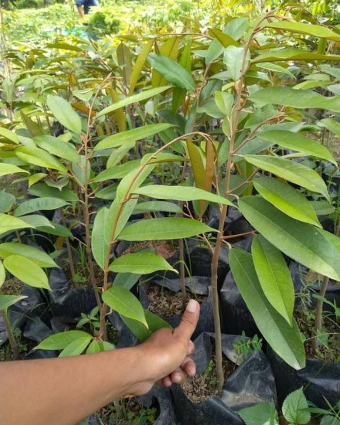 Bibit Durian Musangking Okulasi Murah Batu