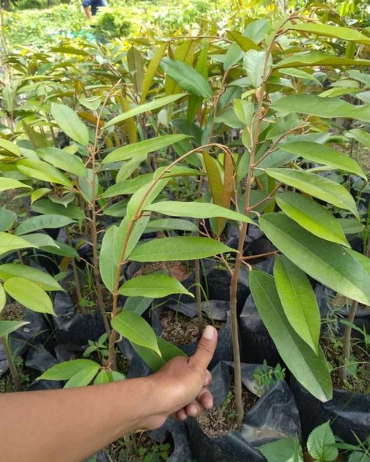 Bibit Durian Musangking Okulasi Murah Metro