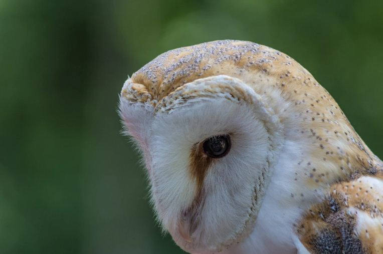 All About Owl Species Characteristics and Owl Facts