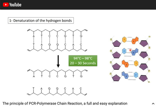 Stage 1 of PCR process -- Denaturation of hydrogen bonds (Source: https://www.youtube.com/watch?v=DH7o9Df5_50)