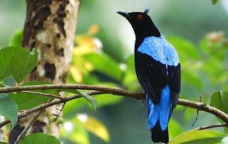 Mp3 Suara Masteran Burung Cucak Biru Gacor