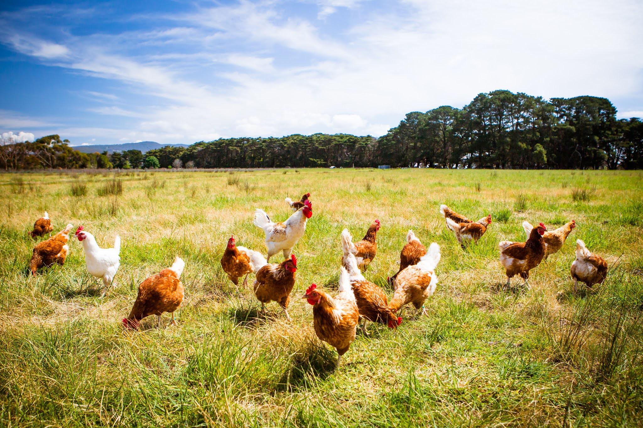 السعودية تقرر حظر استيراد لحوم الدواجن والبيض من فرنسا بسبب انفلونزا الطيور