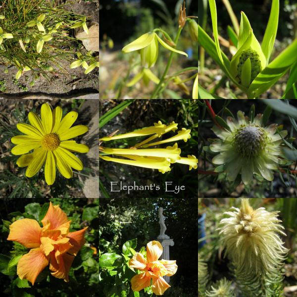 Albuca, Leucadendron Euryops, Ifafa lily, Protea scolymocephala Hibiscus, Phylica