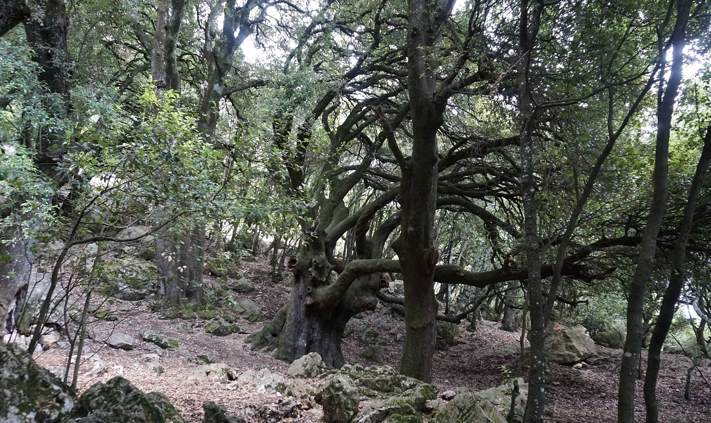 Centuries-old oaktrees Courmettes