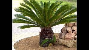 أهم أشجار الزينة وانواعها زراعه كليك