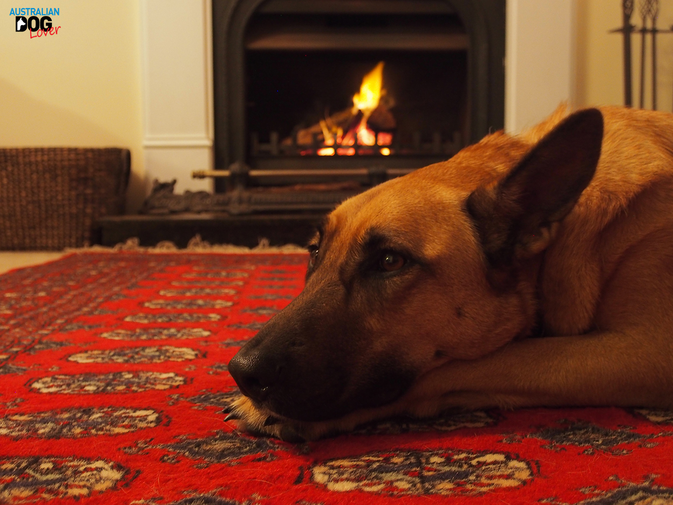 Belgian Malinois lying down on a rug by the fireplace during Australian winter
