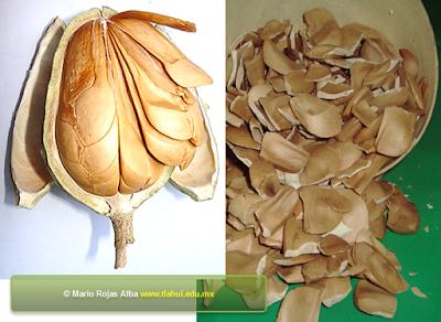 la semilla de caoba sirve para bajar de peso