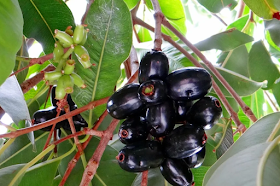 20 Health Benefits of Jamun (BLACK PLUM) & Side Effects