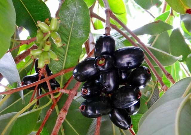 Jamun (BLACK PLUM)