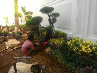jual pohon bonsai cemara udang harga murah