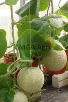 Kalori melon, buah melon, cara menanam melon, jual benih melon, toko pertanian, online shop, lmga agro
