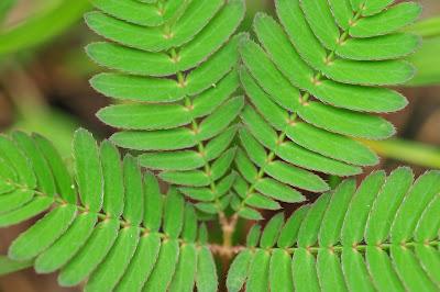 গুনেৰে ভৰপূৰ নিলাজী বন বা লাজুকী লতা বিভিন্ন ৰোগৰ বাবে কেনেকৈ ব্যৱহাৰ কৰিব?- How to use Nilaji bon/Lajuki lata in Assamese