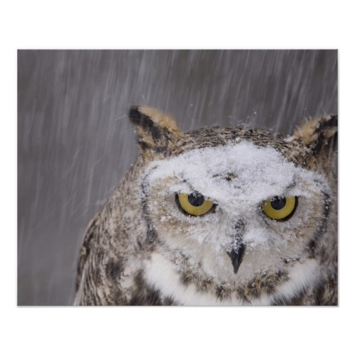 A great horned owl, out in the falling snow, looking straight into the camera - Striking Photo