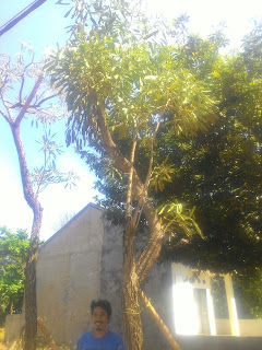 Kami tukang Taman murah menjual pohon pelindung tabibuya bunga kuning dengan harga paling murah dan bebas ongkos kirim