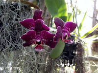 Spotted purple orchids, Foster Botanical Garden - Honolulu, HI
