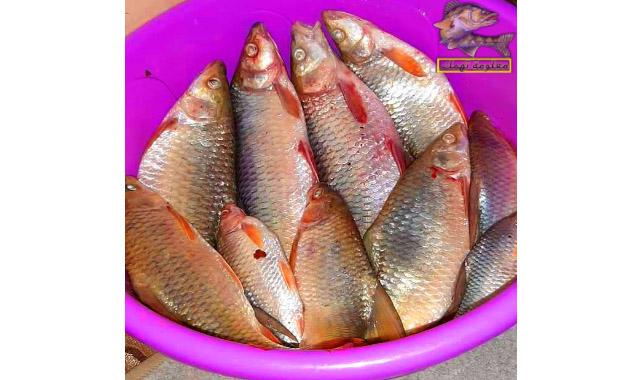 سمك البنى النيلى