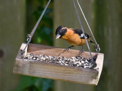 Photo of male Black-headed Grosbeak on bird feeder
