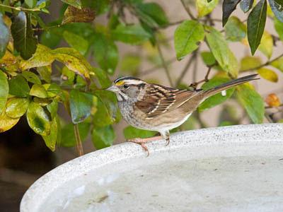 Photo of White-throated Sparrow on bird bath