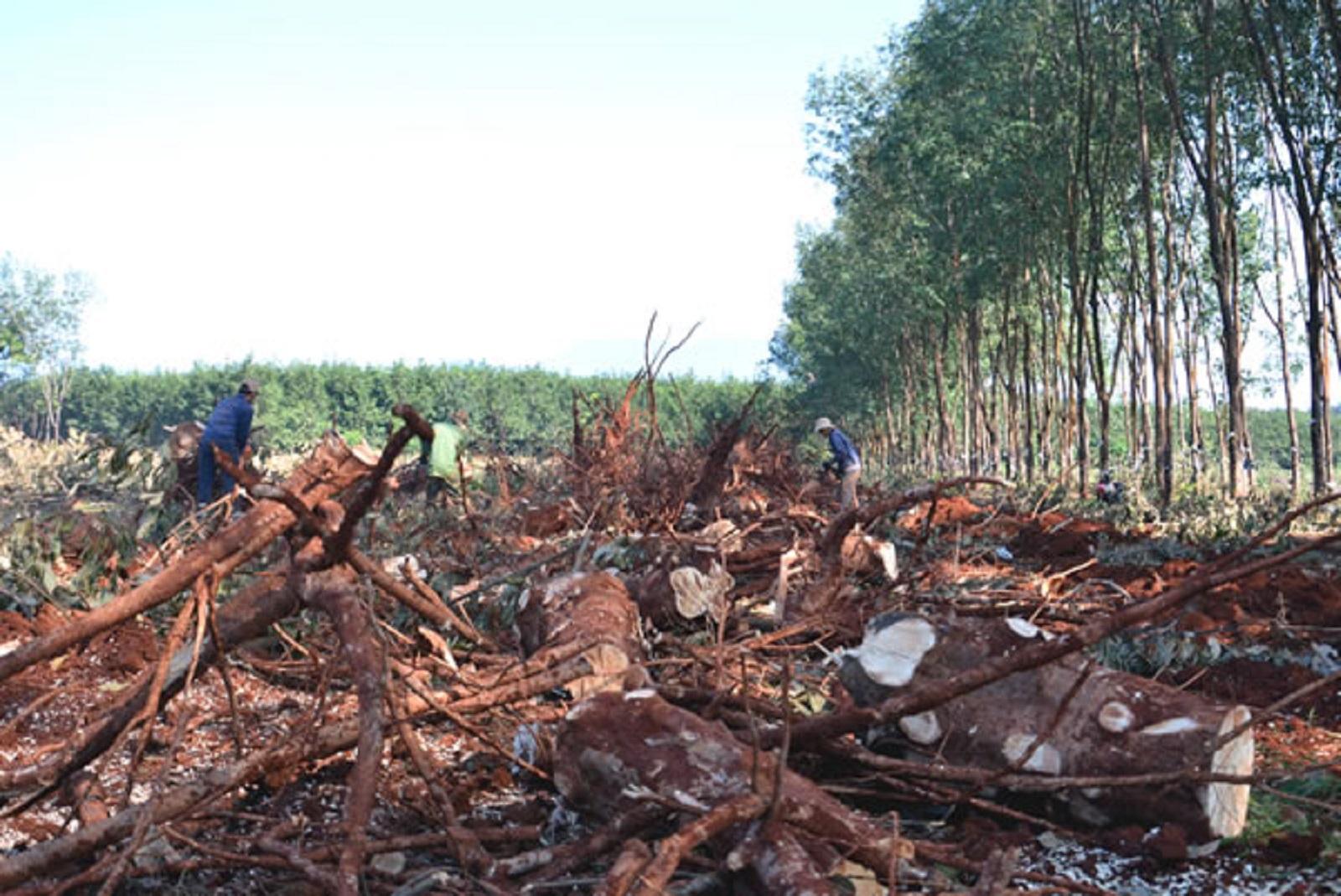 Gia Lai: Hàng trăm héc ta cao su bị đốn hạ
