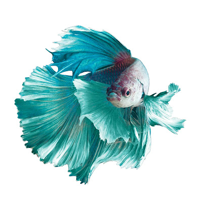 White Crowntail Betta Fish Appearance Care Size Tank Mates Lifespan Compatibility