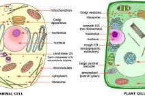 Struktur Sel Beserta Fungsinya pada Sel Hewan dan Tumbuhan
