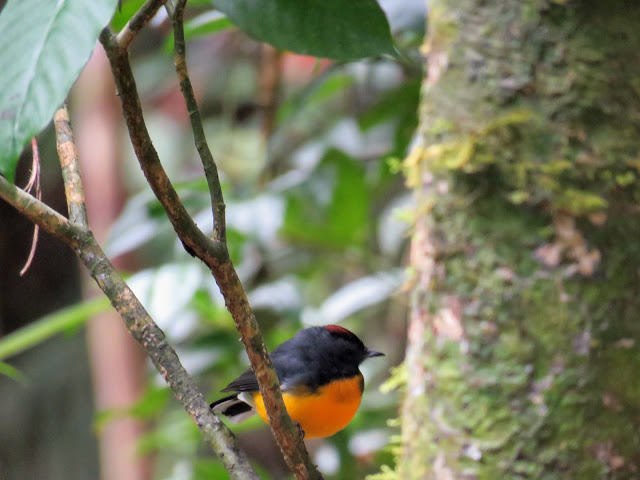 Costa Rica Birds: Slate-throated whitestart