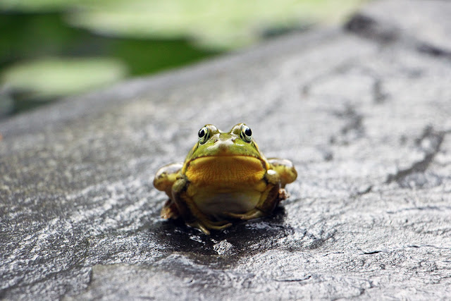 Green Frog Standing on Grey Surface | Photo by Austin Santaniello Bucholtz via Unsplash