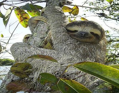 Sloth-كسلان