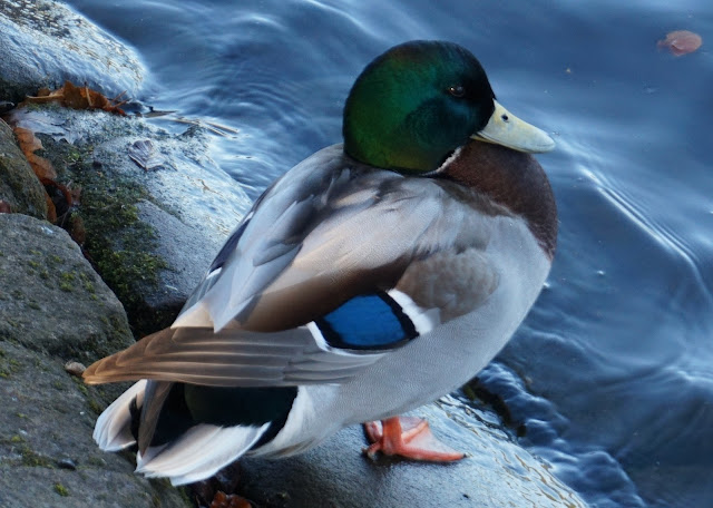 male duck standing on a rock by a lake in sefton park, liverpool
