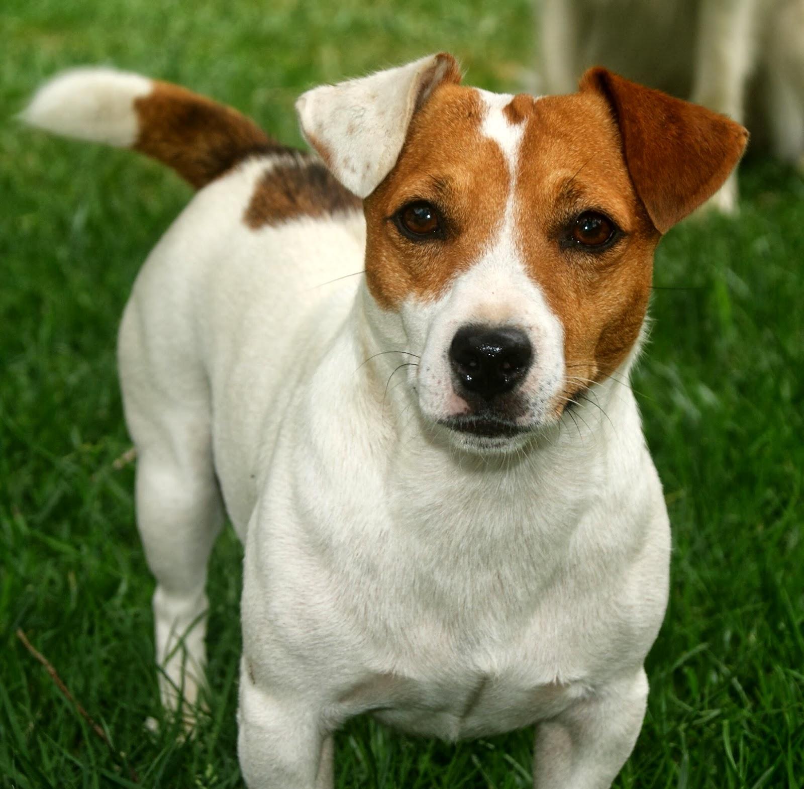 น้องหมา : แจ็ครัสเซลล์เทอร์เรีย (Jack Russell Terrier)