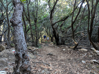 The trail takes you through a forest of leccio - Quercus ilex.