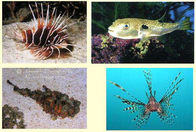 Ikan lepu tembaga (Synanceja horrida)