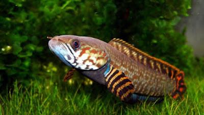 7 Jenis Ikan Gabus Hias atau Channa Lengkap Beserta Gambarnya