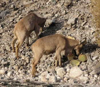 Aoudad eating Prickly Pear Cactus in Lincoln County, New Mexico.