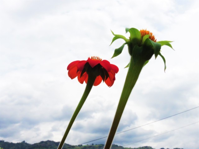 flor roja capullo