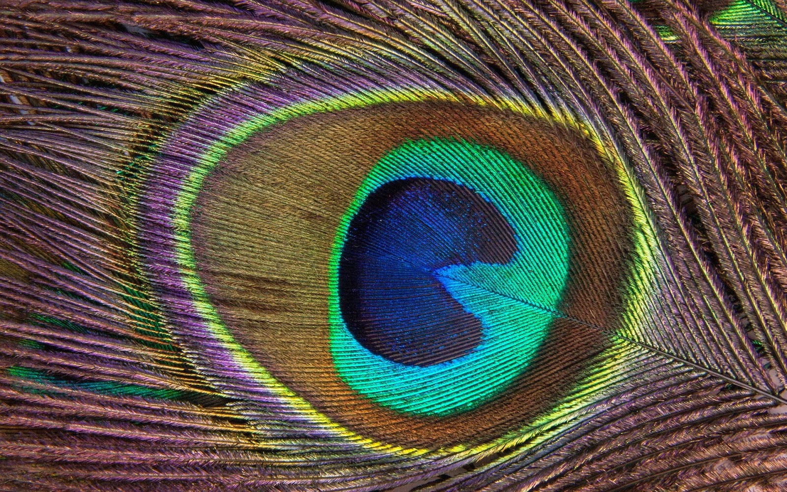 Widescreen HD Wallpaper 1600x1000 DimensionPeacock Feather Wallpapers High Quality