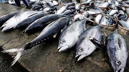Hasil gambar untuk ikan cakalang